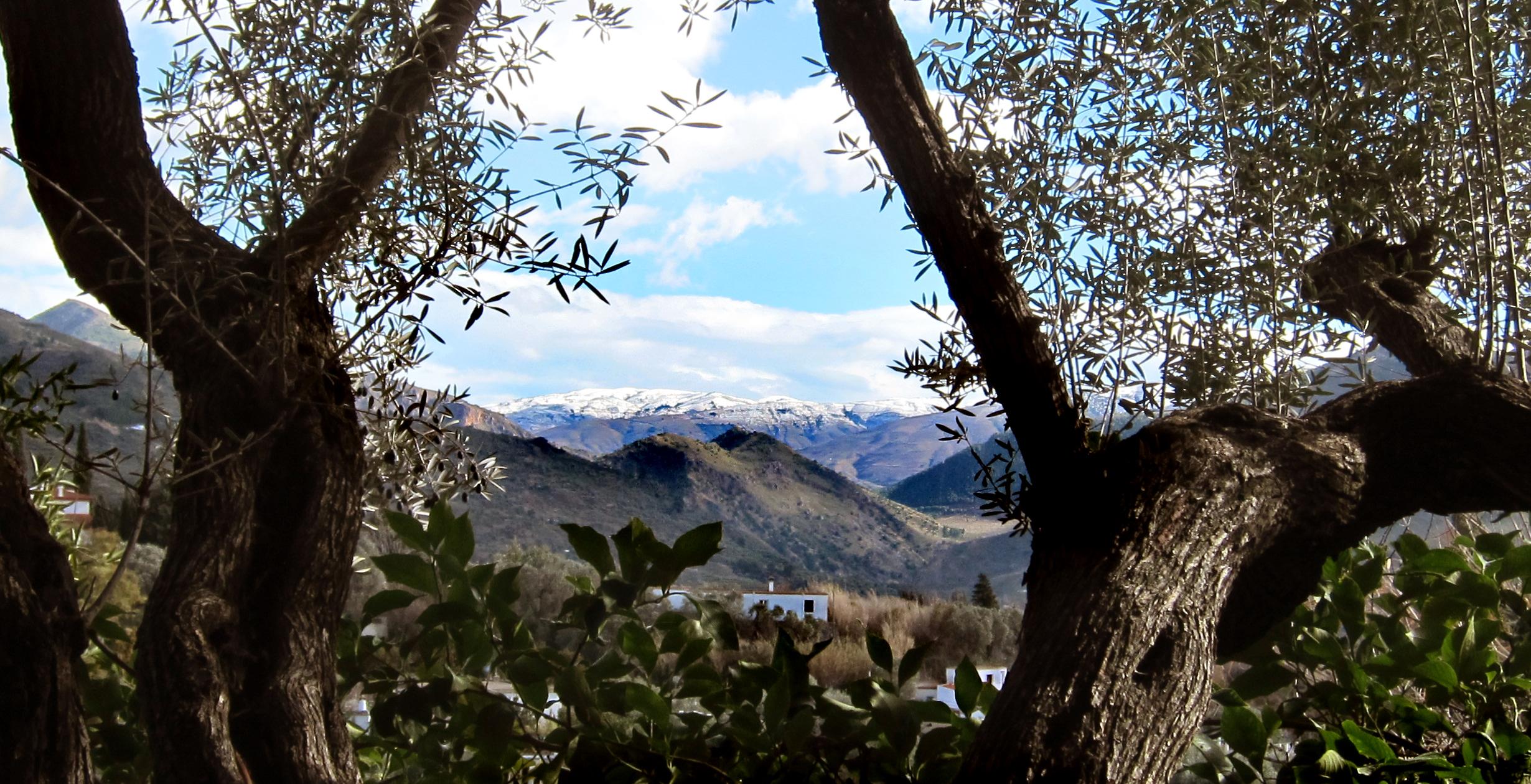 Olivos del jardín con fonde de montañas nevadas, en el jardín de la casa